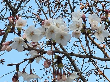 3282016二河の桜S1