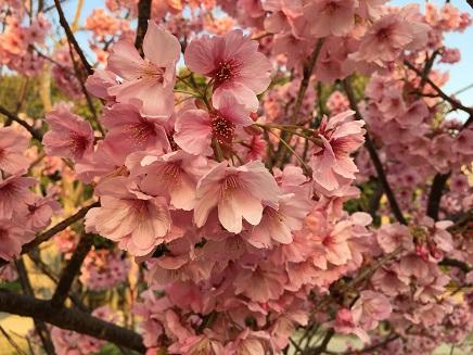 3282016二河の桜S2