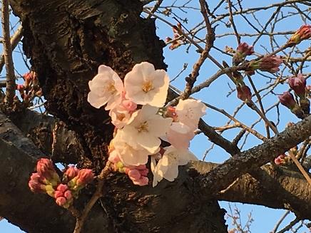 3282016二河の桜S5