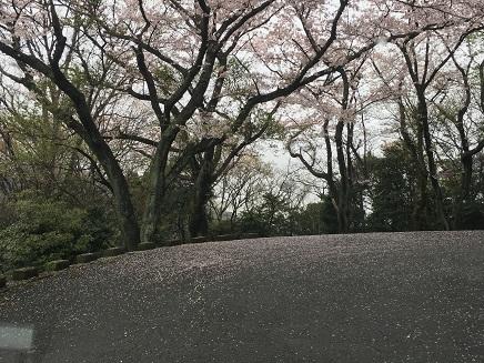 4042016大空山の桜S1