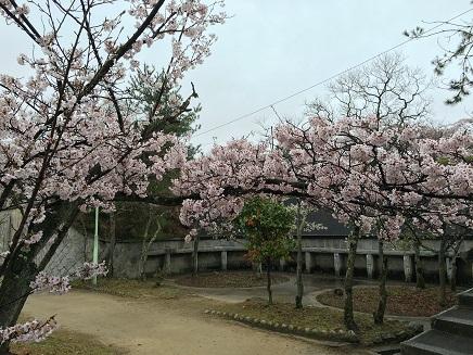 4042016大空山の桜S2