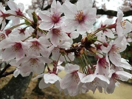 4042016大空山の桜S3