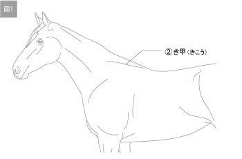 キ甲 馬体