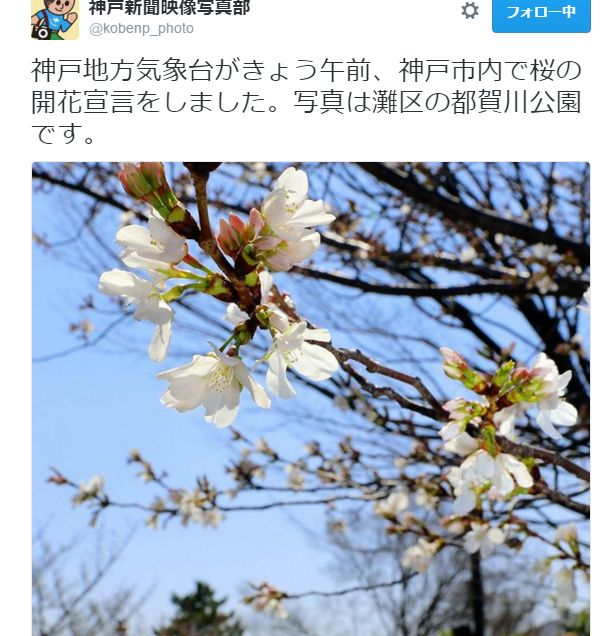 神戸新聞 桜開花宣言