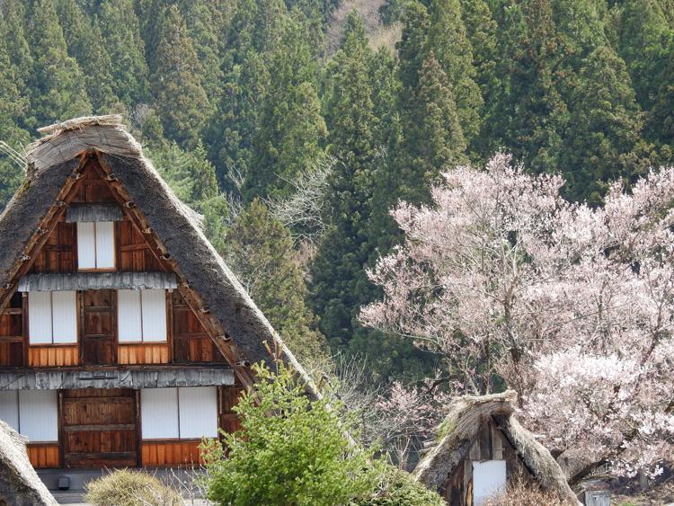《春☆爛漫》世界遺産 白川郷で満開の桜を楽しむ~旅行【お花見】 ④