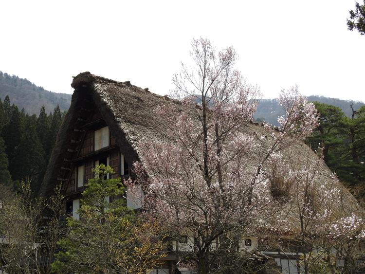 《春☆爛漫》世界遺産 白川郷で満開の桜を楽しむ~旅行【お花見】 ⑦