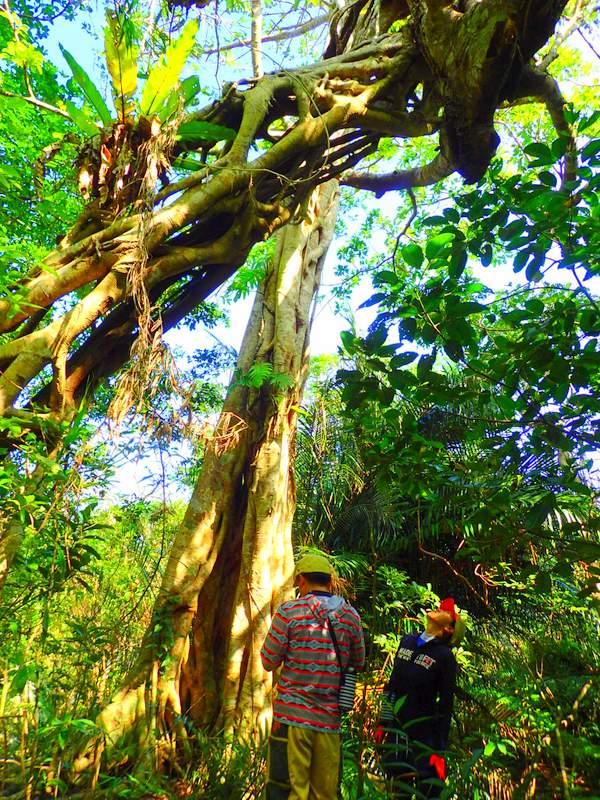 西表島アコウの木