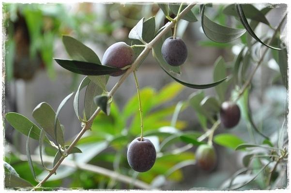 オリーブの実・色づく(マンザニロ)2015・10月10日