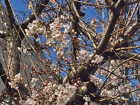 平成28年3月25日の桜 1