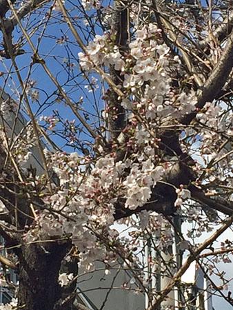 平成28年3月25日の桜 2