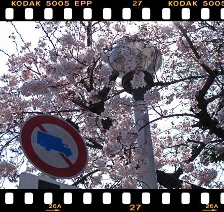3月31日 桜 2