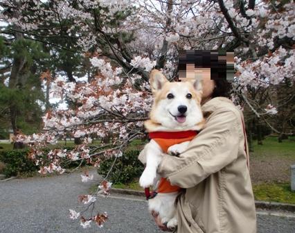御所桜 1