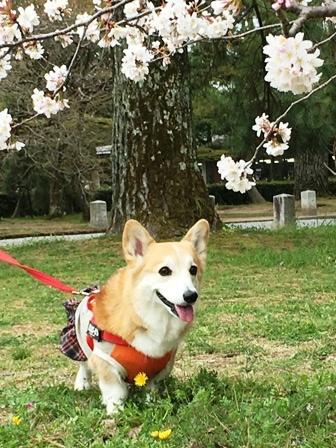 御所桜 2