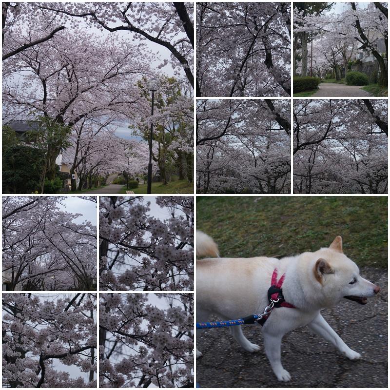 お花見散歩2