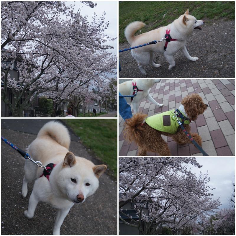 お花見散歩3