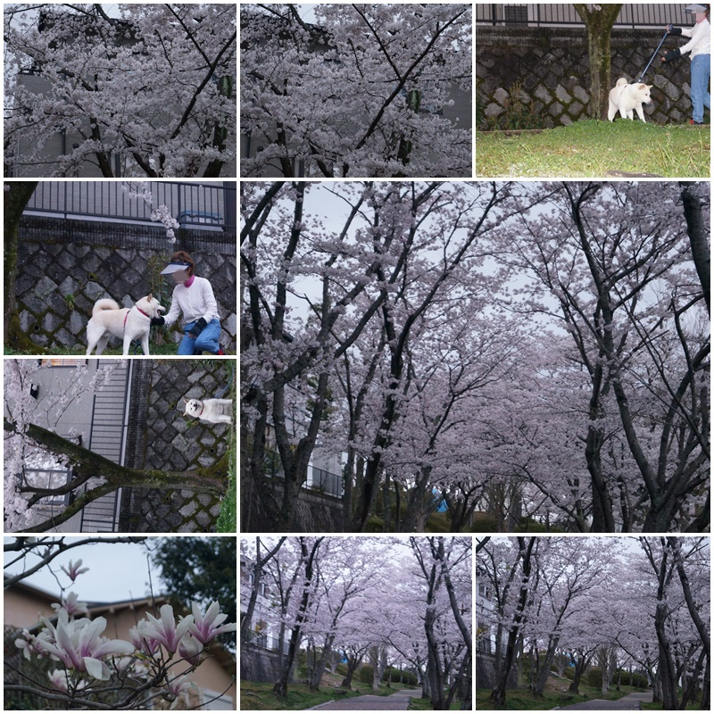 お花見散歩6