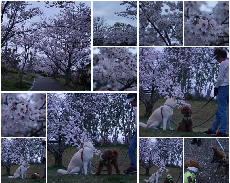お花見散歩8