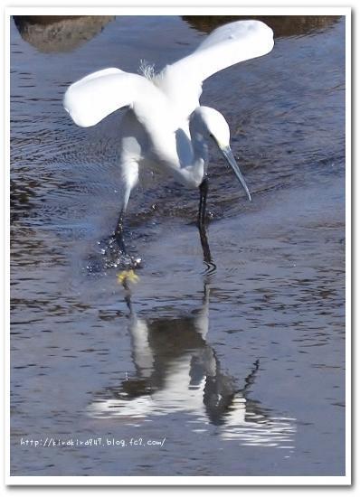 那珂川水遊園のコサギ の美しい足ゆすり漁法