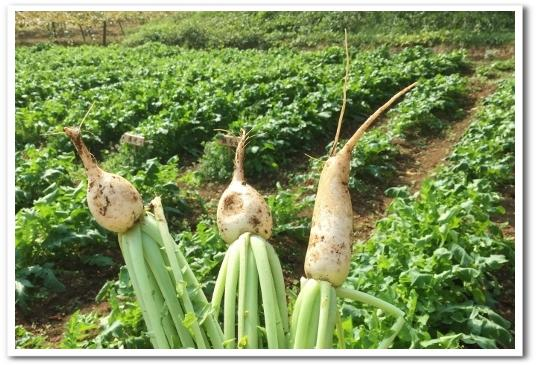 枝豆収穫・大根間引き