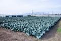 ブロッコリー畑1
