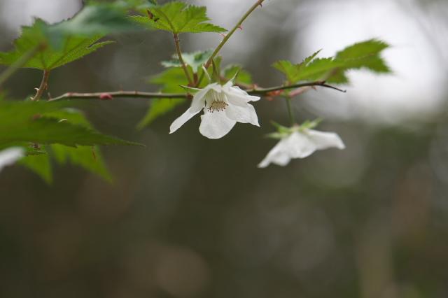 モミジイチゴの花-02