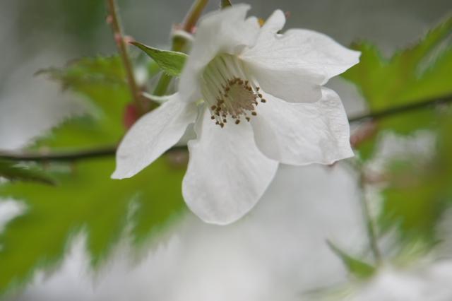 モミジイチゴの花-01