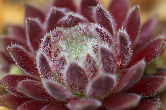Sempervivum Allison