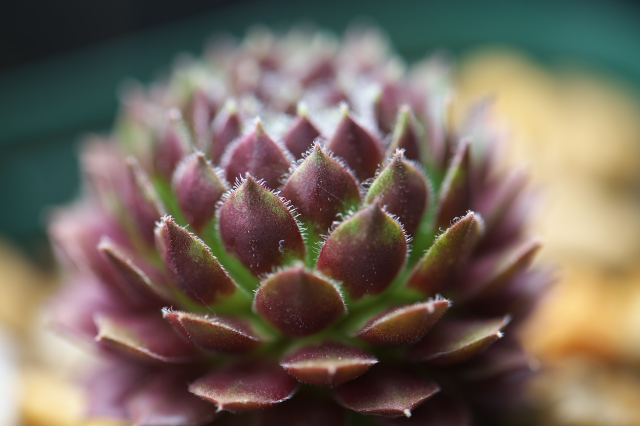 Sempervivum Himebotan