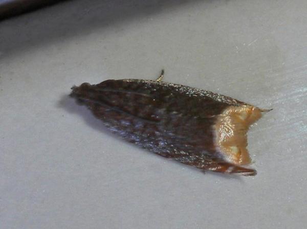 フタボシヒメハマキ