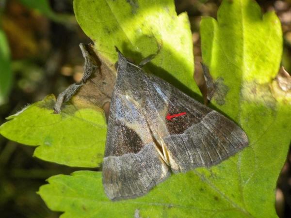 タイワンキシタアツバ