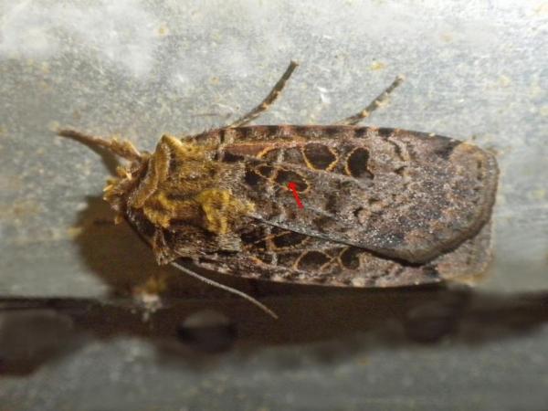 クロクモヤガ