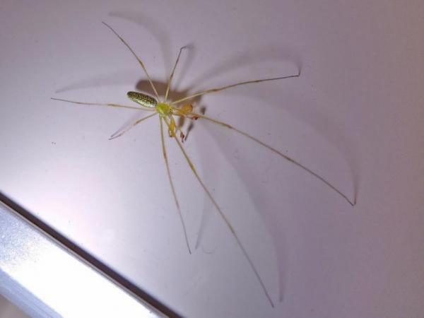 ウロコアシナガグモ