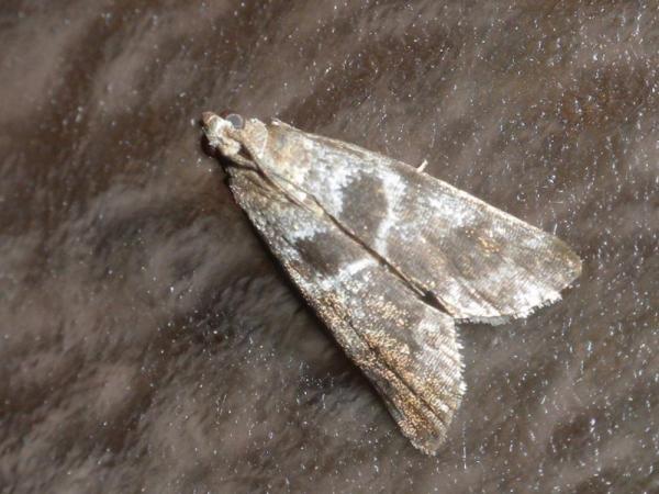 コフタグロマダラメイガ