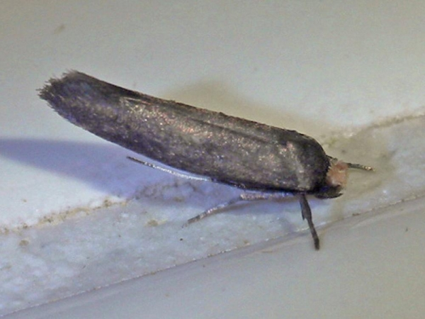 ハチノスヒロズコガ