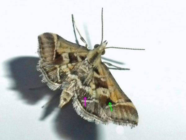 キアヤヒメノメイガ