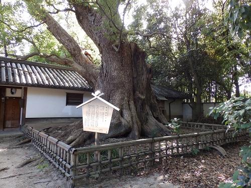 筒井邸門前の楠
