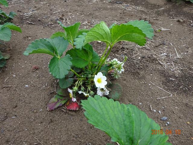 イチゴが花を咲かせ立ち上がってきた