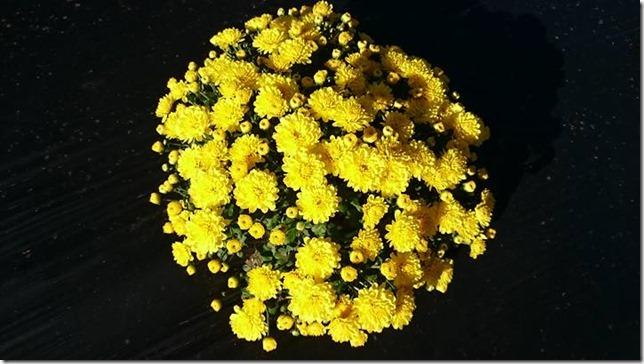 小菊の里、開花状況 (H27/10/02)