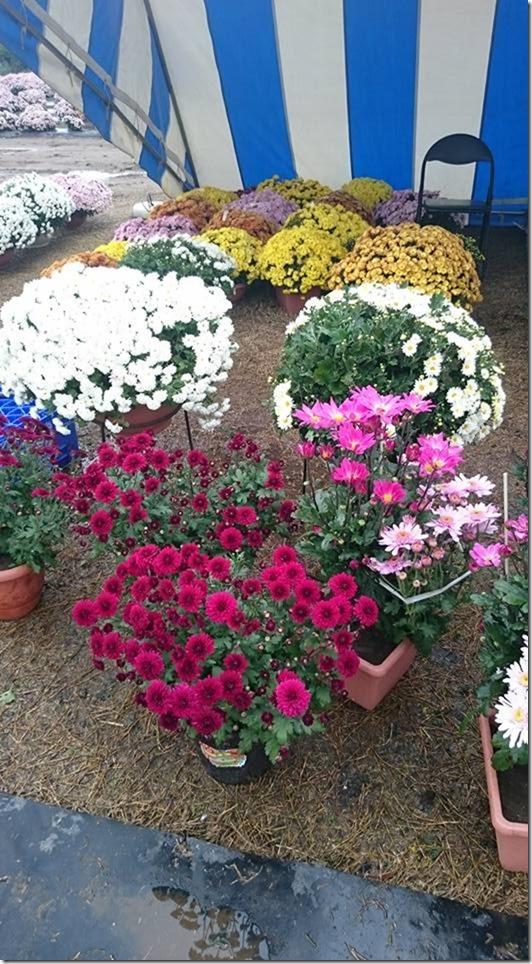 菊の販売、してます(H27/11/09)