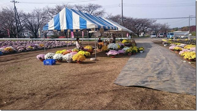 菊の販売終了です(H27/11/13)