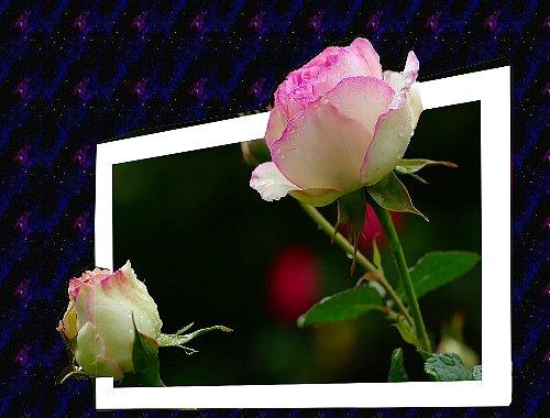 飛び出し薔薇①