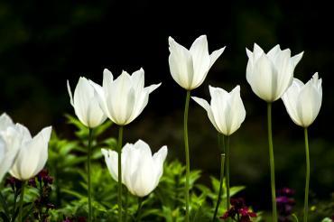 tulip-754650_960_720_convert_20160313023042.jpg