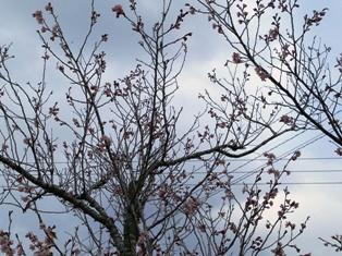 桜DSC_1575