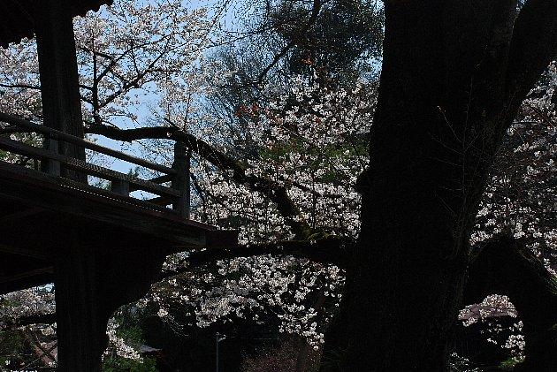 2016-04-01-sakura-001.jpg
