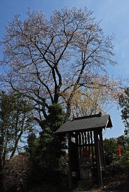 2016-04-01-sakura-005.jpg