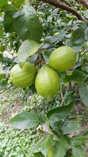 レモン11・13・3個