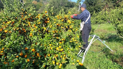 みかん収穫12・2