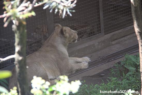 ライオン_1127