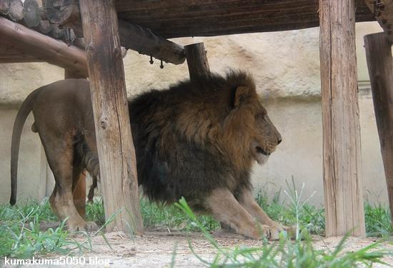 ライオン_1144