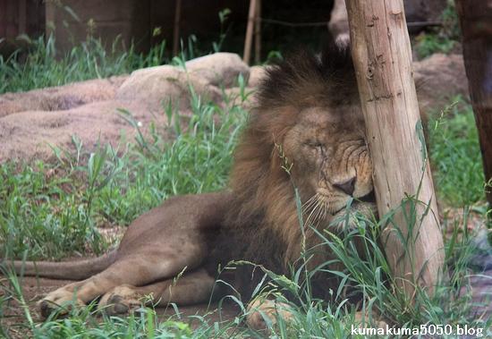 ライオン_1149